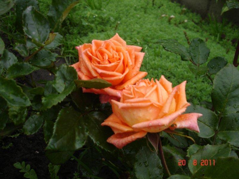 нары роза эльдорадо фото описание одежда