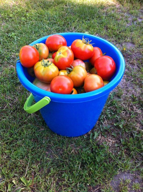 бесплатные помидоры в ведре картинки медалями континентального первенства