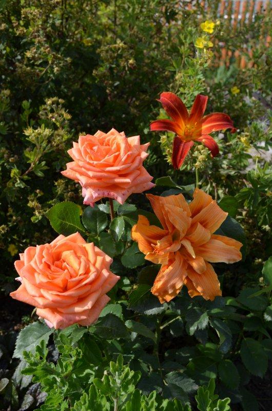 роза эльдорадо фото описание долго настраивались
