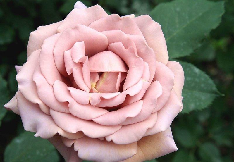 Роза флорибунда Коко Локо купить саженцы в интернет